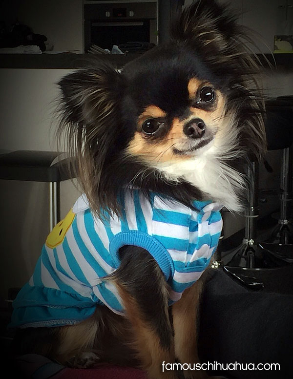 cute long haired chihuahua