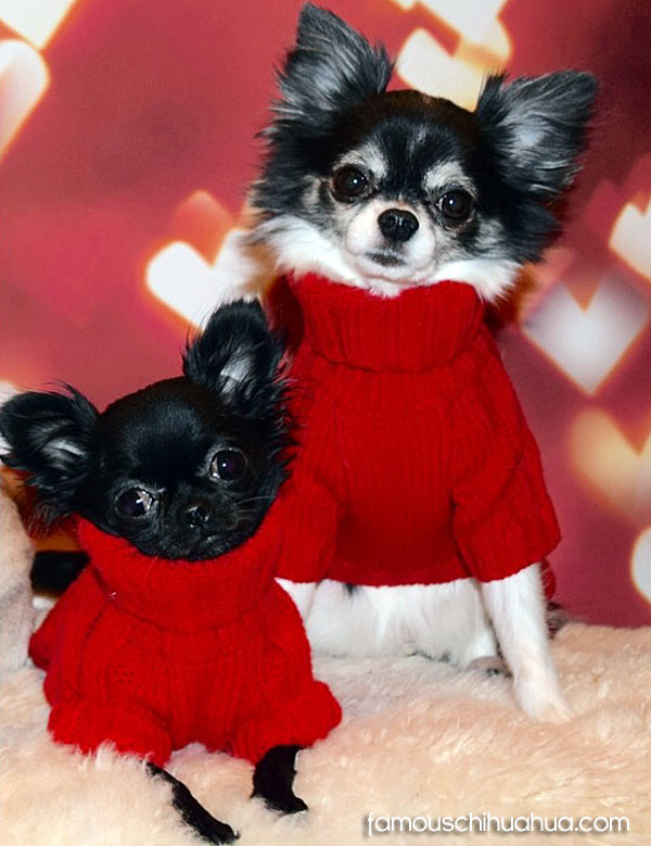 longhaired chihuahuas