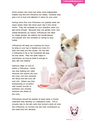 How to bathe your Chihuahua properly