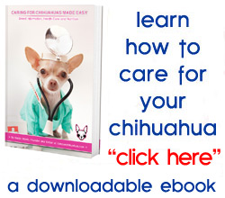 learn how to care for your chihuahua!