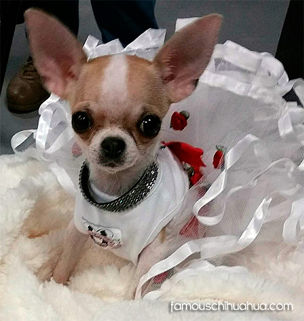 teacup chihuahau in dog dress
