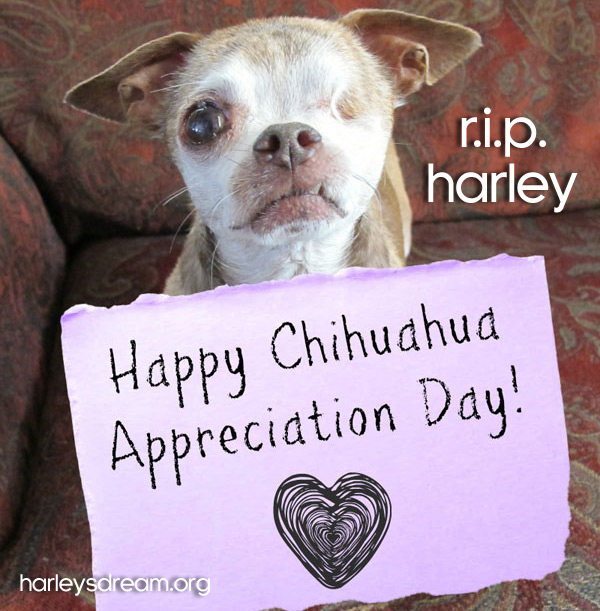 harleysdream.org one eyed chihuahua