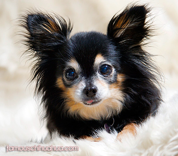 senior long haired chihuahua