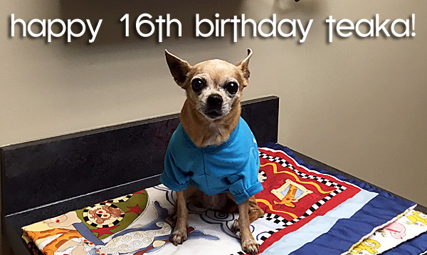 happy 16th birthday to teaka the famous chihuahua that satrted it all!