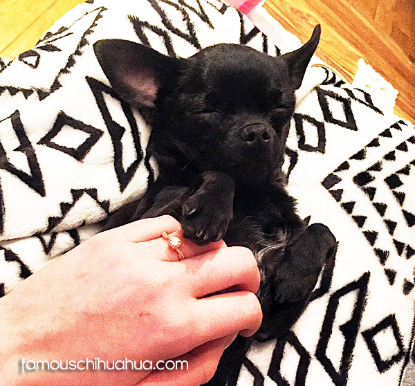 black applehead chihuahua
