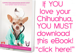 chihuahua health problems