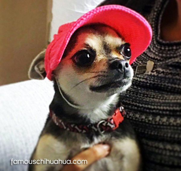 chihuahua applehead celebrity