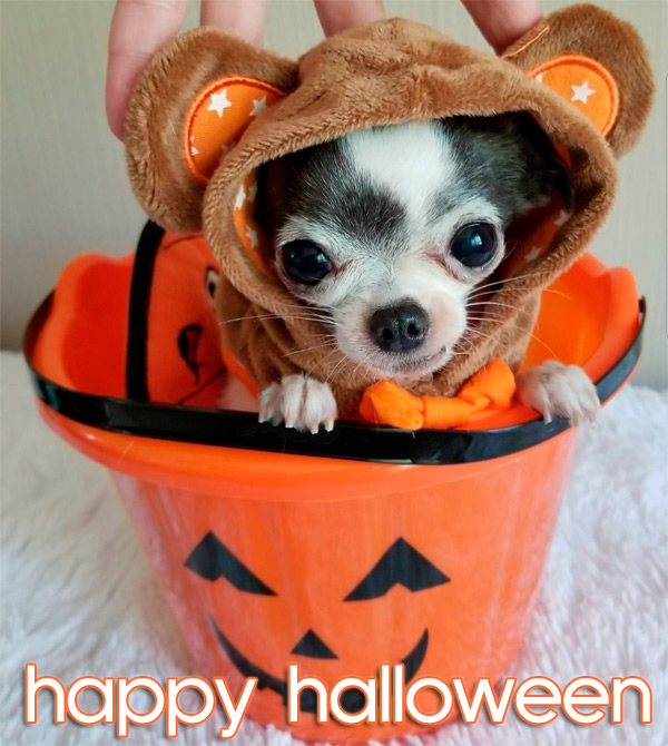 chihuahua mouse in pumpkin