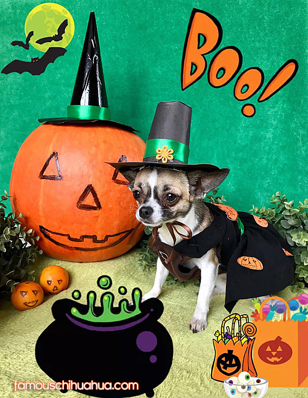 chihuahua halloween picture