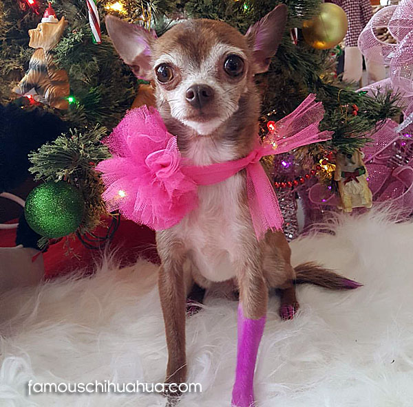 teacup chihuahua christmas