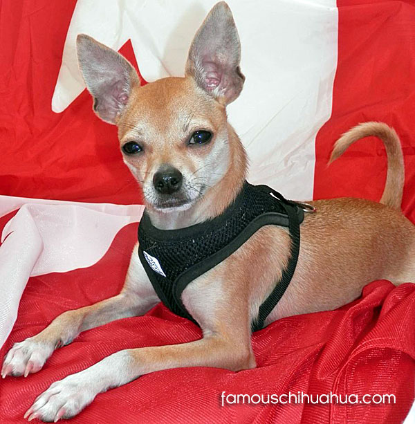canadian rescue chihuahua