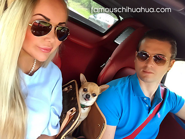 chihuahua selfie picture