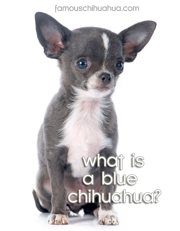 What is a blue chihuahua? How are blue chihuahua puppies different?