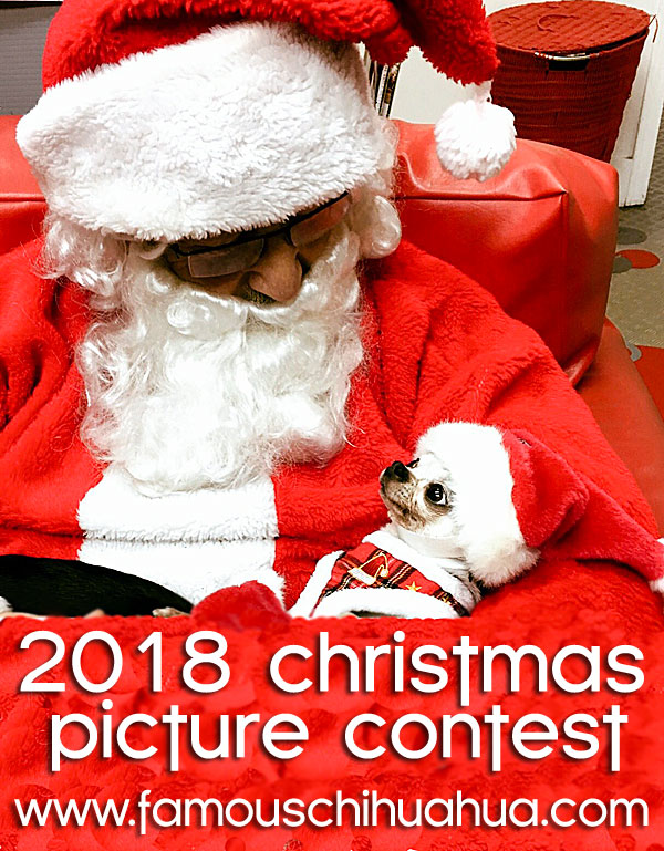 famous chihuahua christmas picture contest