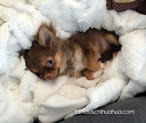 teacup long haired chihuahua