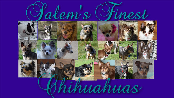 Famous Chihuahua: Find Breeders of Chihuahua puppies!