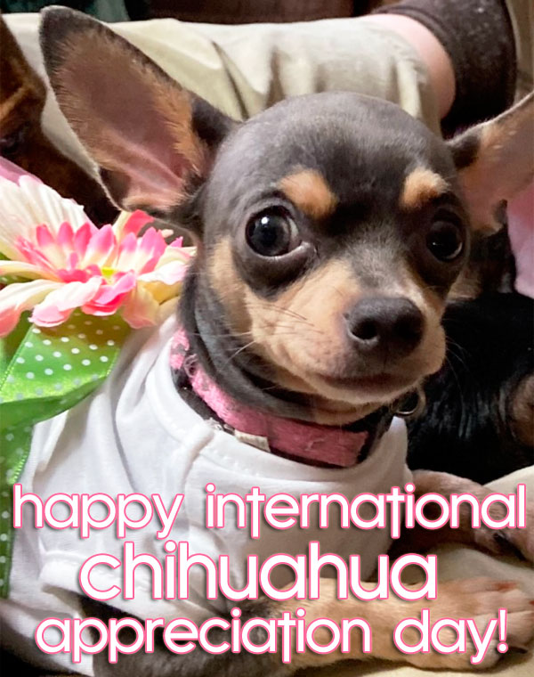winner chihuahua appreciation day contest
