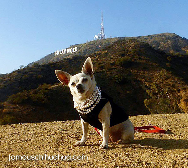 hollywood chihuahua