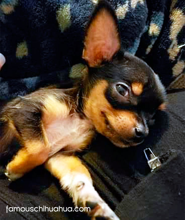 black applehead chihuahua puppy