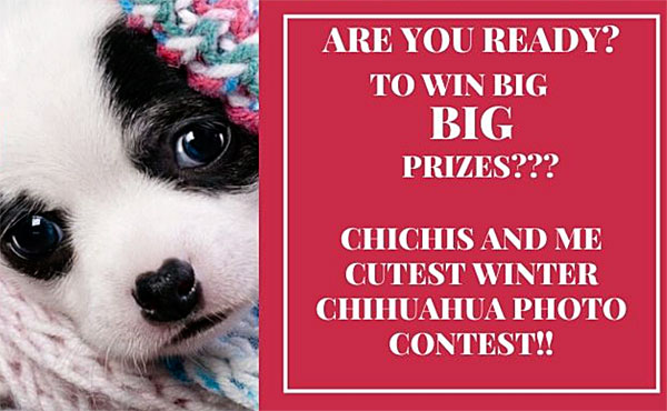cutest winter chihuahua contest