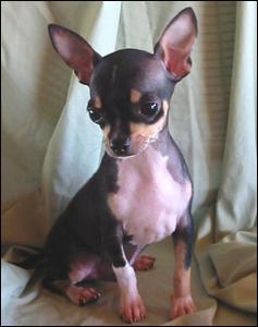 Baby Bosco, A Healthy Chihuahua!