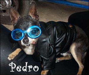 famous-chihuahua-pedro.jpg