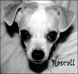 famous-chihuahua-rascall.jpg