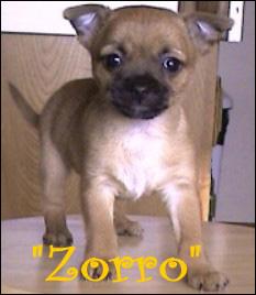 famous-chihuahua-zorro.jpg