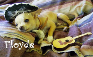 featured-chihuahua-floyde.jpg