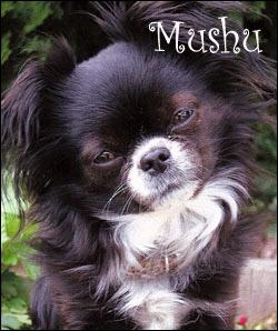 famous-chihuahua-mushu.jpg