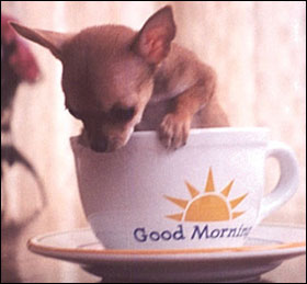 good-morning-chihuahua.jpg