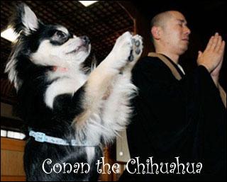 conan-the-praying-chihuahua.jpg