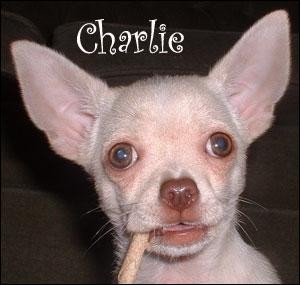 famous-chihuahua-charlie.jpg