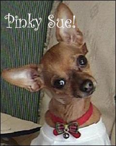 famous-chihuahua-pinky-sue.jpg