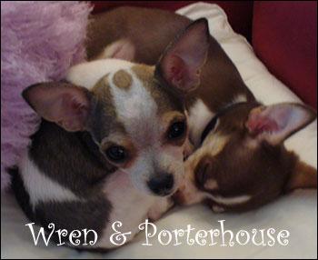chihuahuas-wren-porterhouse.jpg