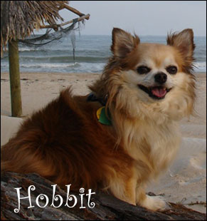 hobbit the chihuahua!