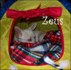 famous-chihuahua-zeus1.jpg