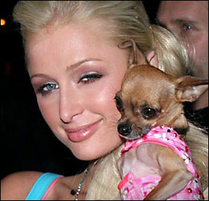 paris hilton with the ever-famous teacup chihuahua tinkerbell