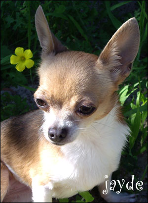 famous chihuahua jayde