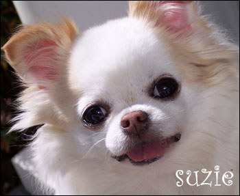 glamour shot of suzie the chihuahua