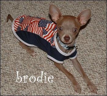 brodie the patriotic chihuahua