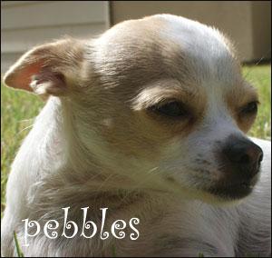 pebbles the chihuahua