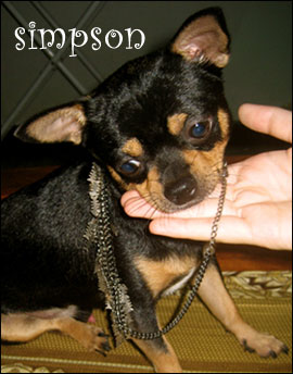 simpson the chihuahua