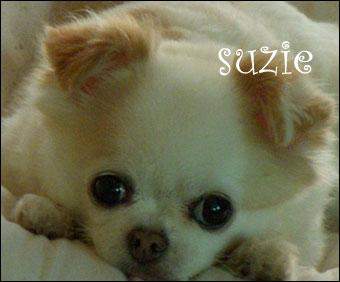 suzie the chihuahua