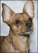 ruby scrumptious the famous chihuahua