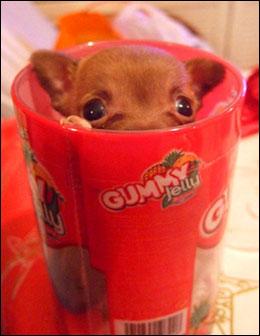 teacup chihuahua plays hide-and-seek