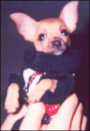 teaka the famous chihuahua as a puppy
