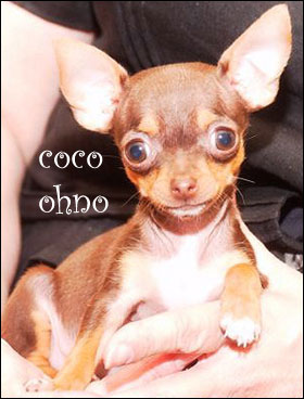 coco ohno the chihuahua