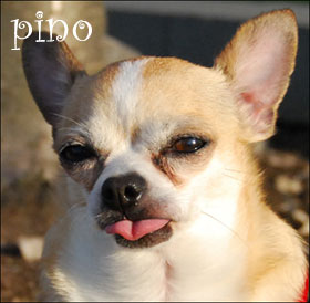 pino the chihuahua!