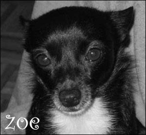 zoe the chihuahua